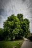 Strom roku ČR 2015 nyní bojuje o titul EVROPSKÝ STROM ROKU, autor: Zdroj: kraj-lbc.cz/strom-roku