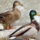 Pokyny k nálezu volně žijícího uhynulého ptactva v souvislosti s výskytem ptačí chřipky